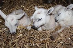 triplet   Born in the night 31 march (excellentzebu1050) Tags: tripletlambs2017april newlife newborn birth lambs farm closeup animal animals animalportraits indoors triplet coth5