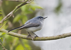 Blue-Gray Gnatcatcher (swmartz) Tags: blue birds outdoors wildlife nikon nature newjersey mercercounty roeblingpark trentonmarsh trenton hamilton