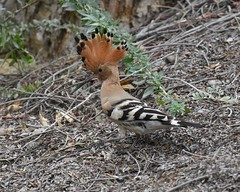 Not sure about the hat (Grumpys Gallery) Tags: hoopoe birds wildlife nature mushrifpark mirdif dubai uae