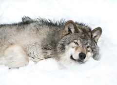 Waiting for Spring (janet.capling) Tags: timberwolf waiting spring weather canada quebec