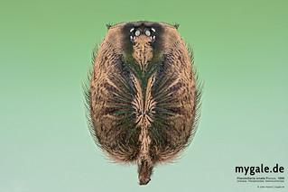 P. ornata Carapax (Tarantula)
