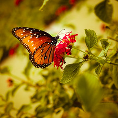 Queen Butterfly (smithnik477) Tags: nature butterfly outside outdoors flower insect queen