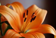 Fineness - Quinta flower (Pensive glance) Tags: lily lilium lys fleurdelys flower plant fleur plante
