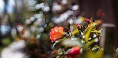 ILCE-6000-05614-20170408-1357-Pano // Carl Zeiss Jena Tessar 50mm 1:2.8 (Otattemita) Tags: 50mmf28 carlzeissjena carlzeissjenatessar50mmf28 florafauna fauna flora flower nature plant wildlife carlzeissjenatessar50mm128 sony sonyilce6000 ilce6000 50mm cnaturalbnatural ota