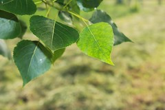IMG_1011_1 (Pablo Alvarez Corredera) Tags: vega barros langreo huerta huerto arboles arbol chopo chopal chopero chopera hoja hojas rural mundo rustico
