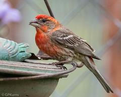 Looking Good ----     House Finch Male (Gary P Kurns Photography) Tags: nikon oklahoma nikond500 birds events creative nikonlens200500 places closeup