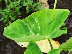 Taro (Colocasia esculenta): Dasheen mosaic (Scot Nelson) Tags: taro colocasia esculenta dasheen mosaic virus dsmv leaf feathering