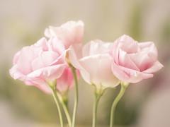 Romantic (Helen Lundberg Photography) Tags: flowers bouquet plant romantic soft pink pastel macro