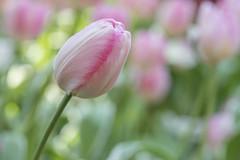 Tulipmania Inspired @ GBTB, Flower Dome (gintks) Tags: singapore singaporetourismboard gintaygintks gintks gardensbythebay tulipmania gardenbythebay flower yoursingapore exploresingapore tulips colourful