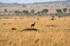 Hartebeest on a termite mound (supersky77) Tags: hartebeest alcelaphus buselaphus uganda termite mound anthill termitaio antelope savana savannah africa