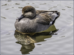Brown teal duck (Stanlin) Tags: topw fz2500 teal duck highpark
