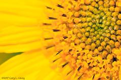 Balsamroot Flower, Rt 97, Oregopn (Gary L. Quay) Tags: balsamroot flower spring 2017 columbia gorge oregon biggs junction nikon vivitar macro gary quay