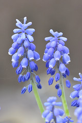 Muscari botryoides (The kun) Tags: nikon nikond7100 werner muscari plant sigma sigma105 flower