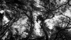 Art of forest IV (Passie13(Ines van Megen-Thijssen)) Tags: tungelerwallen tungelroy bos forest nature natuur art fineart wald trees bomen baeume blackandwhite bw sw zw zwartwit monochrome monochroom monochrom canon sigma35mmart limburg netherlands inesvanmegen inesvanmegenthijssen