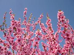 Pfirsichblüten-Zweige (Jörg Paul Kaspari) Tags: wiltingen prunus persica prunuspersica pfirsich blüte flower rosa blütenzweige zweige gezweige himmel sky blau blue