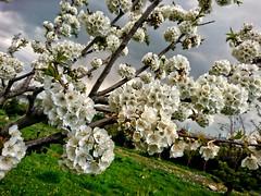 Bahar (bilal güldoğan) Tags: bahar spring white outdoor orchid orman vahşiyaşam doğal doğa wild beyaz kiraz nikon nikonp600 nikoncoolpixp600