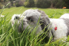 Curious (LexiCMarie) Tags: dog dogs pet pets puppies puppy shih tzu mix mutt cute adorable spring