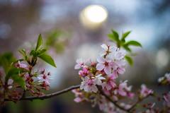 Sakura (monngee) Tags: sakura centralpark nyc newyork sonya7 a7 fd50mmf14 springtime