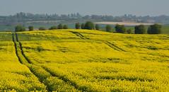 Field of rapeseed, Blewbury, Oxfordshire (Edmund Shaw) Tags: yellow field crop rape rapeseed canola berkshire farmland brassicanapus
