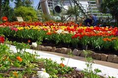Lots of tulips (caro-jon-son) Tags: eden