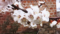 apricot flowers (movsessafaryan) Tags: armenia armavir villagejanfida apricotflowers house enclosure spade distancewalnutchyogher oleander tuff