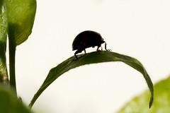 Noisy - Jardin - (Noir et Blanc 19) Tags: coccinelle nature insectes macro 105sigma sony a77 rès sympa