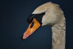 Mute Swan Portrait (paulinuk99999 - tripods are for wimps :)) Tags: paulinuk99999 mute swan british aquatic river ouse wildlife sal70400g