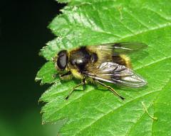 Cheilosia illustrata (erdragonfly) Tags: cheilosiaillustrata