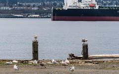 It wasn't until after... (CORDAN) Tags: cordan dmyers 2017 nikond500 nikkor 70200mmf28d edizhook portangeleswa harbor thespit thehook seagulls waterfront shrek