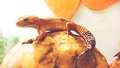 Herp Life Reptile Animal Themes Close-up Leopard Gecko One Animal Animals In The Wild No People Indoors  Day (Jesonis|Photography_On/Off (super busy)) Tags: reptile animalthemes closeup leopardgecko oneanimal animalsinthewild nopeople indoors day