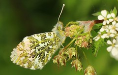 Orange Tip 180417 (1) (Richard Collier - Wildlife and Travel Photography) Tags: wildlife naturalhistory british insects butterflies orangetip ngc