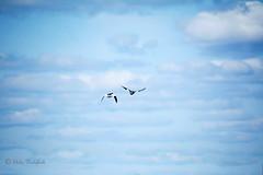 Is a bird more free than a fish? (Elahe Dastgheib) Tags: elahe bird free fish blue sky cloud fly goose sverige stockholm