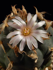 Lophophora williamsii flower (emilmorozoff) Tags: lophophora williamsii