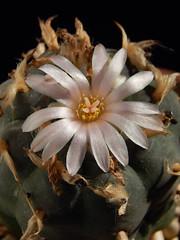 Lophophora williamsii flower (emilmorozoff) Tags: lophophora williamsii