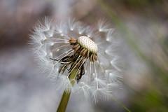 Fragilité.. (Korf-Adri) Tags: fleur macro flower bloom colors fragile printemps spring summer macroshot tamron90mm tamron canon canon70d zoom micro nature naturaleza white jardin garden seeds graine petals blossom