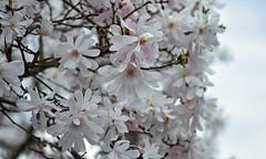 The Little Stellata That Could (Lala Lands) Tags: magnoliastellatarosea starmagnolia pinkspringflowers whitespringflowers floweringtrees flowersshrubs springflowers springeveninglight littlestellatathatcould bokeh dof nikkor105mmf28 nikond7200