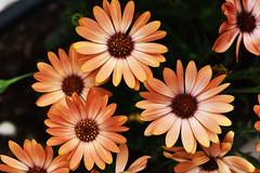 Gathering (Pensive glance) Tags: daisy marguerite flower fleur plant plante ngc npc