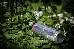 Det som göms i snö... (MagnusBengtsson) Tags: fs170416 fotosondag varkanslor vitsippor vår aluminiumburk skräp natur nature spring flowers garbage