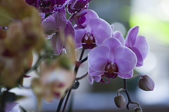 111/365 (Rei_Marie) Tags: 365 project canon rebel orchid flower shop nature purple