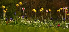 **Spring Carpet** (**klaracolor**) Tags: klara klarathomas klaracolor canon canon7d flora flower flowers tulip tulips grapehyacinths muscaribulbs anemoneblanda grass green yellow red white rotterdam kralingseplas holland southholland