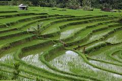 Green rice (Bert#) Tags: indonesia bali jatiluweh rice fields paddy nature green travel
