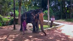 Sri Lanka 2017 (Haus Im Hof) Tags: indianelephant asianelephant srilanka elephants elefanten ceylon elefantenführer mahout milleniumelephantfoundation pinnawala pinnawela