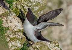 DSC0846  Razorbill.. (jefflack Wildlife&Nature) Tags: razorbill birds avian animals animal wildlife wildbirds seabirds shorebirds countryside coastalbirds seashore auks bempton cliffs nature