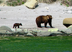 brown bear + cubs on the shoreline at cape kambal'nyy, kamchatka 2 (Russell Scott Images) Tags: cape mys kambal'nyy kamchatkapeninsula russianfareast russia kamchatkabrownbearursusarctossspberingianus cub