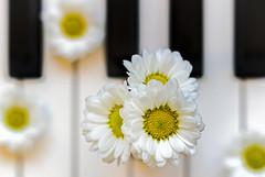 Camomiles Blues (Hanna Tor) Tags: macro flowers music romantic piano closeup color stilllife indoor hannator