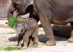 Nee,will kein Salat ! (♥ ♥ ♥ flickrsprotte♥ ♥ ♥) Tags: elefanten tier zoo hannover mitastaunterwegs flickrsprotte