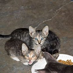 Breaking Bread Together (Roger Hilleboe) Tags: cats felines kittens developement growth