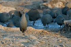 Helmeted Guineafowl on Guard (naturalturn) Tags: flock guineafowl helmetedguineafowl savanna wateringhole water savuti chobe chobenationalpark botswana image:rating=5 image:id=206291