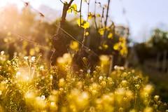 Mâconnais (Thierry Hudsyn) Tags: sony a6000 sigma60mm28 vines vineyard bokeh bokehlicious shallowdof