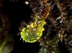 Glistening Mossy DROP (Lani Elliott) Tags: nature naturephotography moss mosses macro macrounlimited upclose close bokeh blackbacground light bright radiant glowing glistening glow closeup